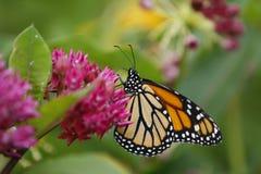 piękny motyl zdjęcia royalty free