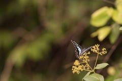 Piękny motyl, kolorowy motyl, motyl w ogrodowy plenerowym Obrazy Stock