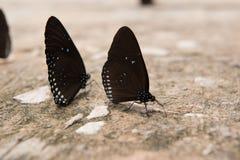 Piękny motyl, kolorowy motyl, motyl w ogrodowy plenerowym Fotografia Royalty Free