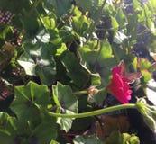 Piękny motyl na czerwonym kwiacie Obraz Royalty Free