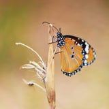 Piękny motyl na kwiacie Obraz Royalty Free