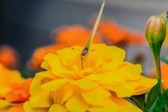 Piękny motyl na kwiacie Obrazy Royalty Free