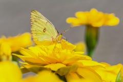 Piękny motyl na kwiacie Fotografia Royalty Free