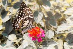 Piękny motyl na menchiach kwitnie w ogródzie Obrazy Stock