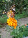 Piękny motyl na nagietka kwiacie zdjęcia stock