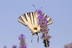 piękny motyli biel Fotografia Royalty Free