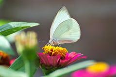 piękny motyli kwiat Zdjęcie Stock