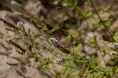 piękny motyli kwiat Fotografia Royalty Free