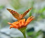 Piękny motyli obsiadanie na kwiacie Obrazy Stock