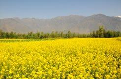 Piękny musztardy pole w Kaszmir, India Zdjęcia Royalty Free