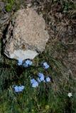 Piękny Myosotis kwitnie w naturze Obrazy Stock