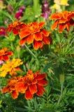 Piękny nagietka kwiat w kwiacie Fotografia Stock