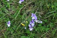 piękny niebieski blisko kwiaty, Obraz Royalty Free
