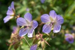 piękny niebieski kwiat Zdjęcie Royalty Free