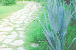Piękny niebieskozielony agawa kaktus Fotografia Stock