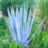 Piękny niebieskozielony agawa kaktus Zdjęcie Royalty Free