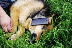 Piękny Niemiecki pasterskiego psa lying on the beach na zielonej trawie Zdjęcie Royalty Free
