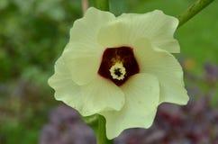 Piękny okra kwiat w ogródzie Zdjęcia Royalty Free