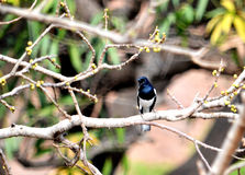 Piękny orientalny sroka rudzika ptak Zdjęcia Stock