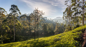 Piękny panoramiczny widok typowa herbaciana plantacja, Sri Lanka Obraz Royalty Free