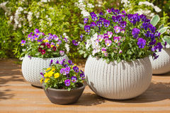 Piękny pansy lato kwitnie w flowerpots w ogródzie Fotografia Royalty Free