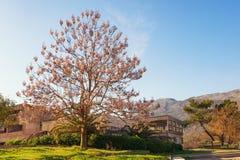 Piękny Paulownia tomentosa princess drzewo w kwiacie na pogodnym wiosna dniu Zdjęcia Royalty Free