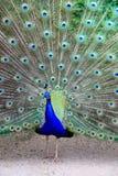 Piękny paw Zdjęcie Royalty Free