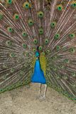 Piękny paw w Madryt zdjęcie stock
