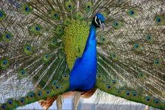 piękny pawi dumny Obrazy Royalty Free