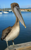 piękny pelikan Obraz Royalty Free
