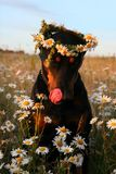 piękny pies zdjęcie royalty free