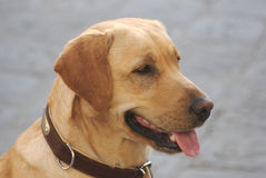 piękny pies Fotografia Stock