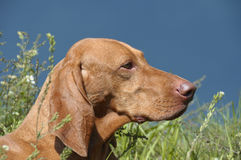 piękny pies hungarian vizsla Zdjęcie Stock