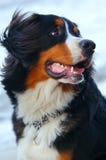 piękny pies portret Zdjęcia Royalty Free