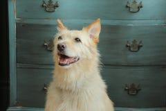 Piękny pies przed dresser Zdjęcie Royalty Free