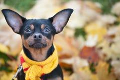 Piękny pies, szczeniak siedzi na bac w szaliku z pampons Zdjęcia Royalty Free