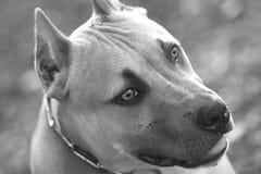 Piękny pit bull Zdjęcie Stock