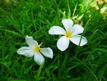 Piękny plumeria kwitnie na zielonej trawie Obraz Royalty Free