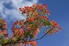 Piękny poinciana, pawi kwiat, Gulmohar kwiat z niebieskim niebem i blured chmura, Obrazy Royalty Free
