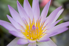Piękny pojedynczy lotos Fotografia Stock