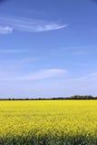 Piękny pole Manitoba Canola 3 Fotografia Royalty Free