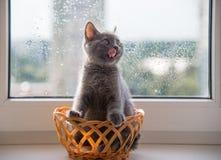 Piękny popielaty kot przy okno Obrazy Royalty Free