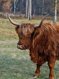 Piękny portret Górska krowa Zdjęcie Stock