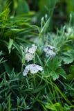 Piękny primula w wiosny mieszanki granicie obraz stock
