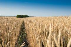 Piękny pszeniczny pole Obraz Royalty Free