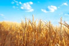 Piękny pszeniczny pole z niebieskim niebem Zdjęcia Stock
