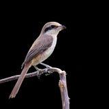Piękny ptak dzierzby, Lanius (Brown, cristatus) Zdjęcie Stock