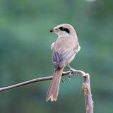 Piękny ptak dzierzby, Lanius (Brown, cristatus) Obraz Stock
