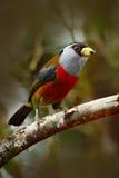 Piękny ptak od zwrotnika egzota lasowego popielatego i czerwonego ptaka, pieprzojada Barbet, Semnornis ramphastinus, Bellavista,  Obrazy Stock