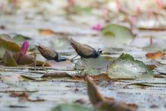 Piękny Ptasi odprowadzenie na stawie (Oskrzydlonego Jacana) Zdjęcia Stock